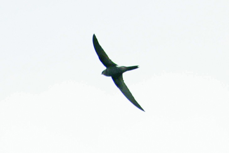 Rarity finders: Pacific Swift in Aberdeenshire