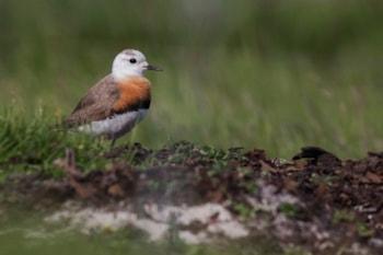 Rarity finders: Oriental Plover in Norway