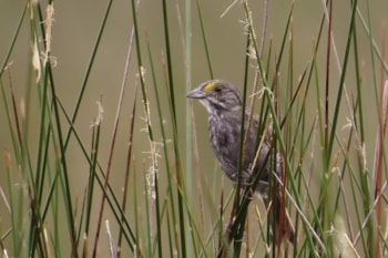 Research: Seaside Sparrows at risk from increasing predators and rising seas