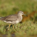 Rarity finders: Grey-tailed Tattler in the Azores