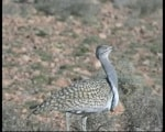 Focus On Houbara Bustard – the most ridiculous display in the Western Palearctic?
