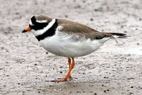 Focus On Spring 'ringed plovers'