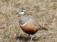 Articles Where to 'Trip' Over Dotterels