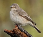 BTO Norfolk Spotted Flycatcher Project 2006