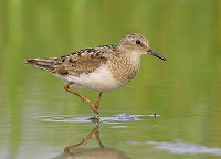 Focus On Temminck's Stint