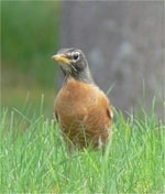 Rarity finders American Robin in Highland
