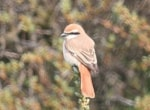 Articles Turkestan Shrike at Whitburn, County Durham