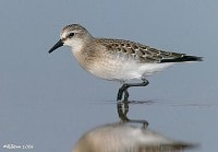 Focus On Identifying juvenile Red-necked Stints
