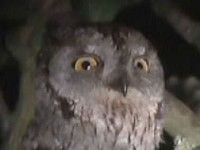 Articles The Scops Owl at Thrupp