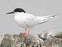 Focus On Where to see Roseate Terns