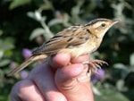 Articles A quick guide to ageing Aquatic Warblers