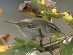 Focus On Greenish Warbler or Arctic Warbler