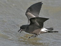 Focus On How to see Leach's Storm-petrel off Britain and Ireland