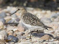Focus On Baird's & White-rumped Sandpipers