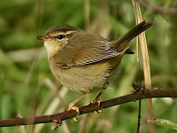 Focus On Separating Radde's and Dusky Warblers