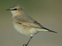 Focus On Isabelline Wheatear or Northern Wheatear