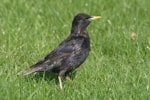 Articles Spotless Starling in the Netherlands?