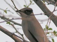 Rare Western Palearctic birds Grey Hypocolius