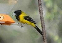 Birding abroad A Guide to Birding in the Lower Rio Grande Valley, Texas