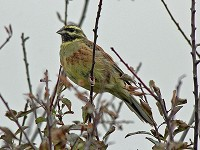 Focus On Where to watch Cirl Buntings