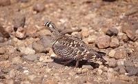 Birding abroad Gosney in Oman - hear no eagles, see no eagles