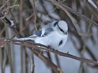 Rare Western Palearctic birds Azure Tit