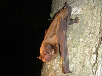 Research Bats eating nocturnally migrating songbirds