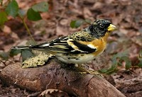 Focus On Brambling or Chaffinch?