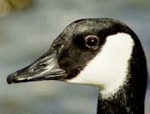 Focus On White-cheeked Geese (a.k.a. Canada Geese)