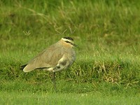 Articles Sociable Lapwing – Threats and Hopes