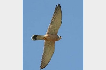 Days to Remember Lesser Kestrel on Fair Isle...15 years ago!