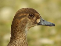 Focus On Identifying female Green-winged and Baikal Teal