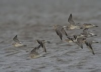 Articles Bar-tailed Godwits on the Move
