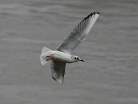 Focus On How to Separate Bonaparte's and Black-headed Gull