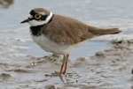 BTO Little Ringed and Ringed Plover Breeding Survey 2007