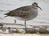 Articles The Spring Passage of Whimbrels