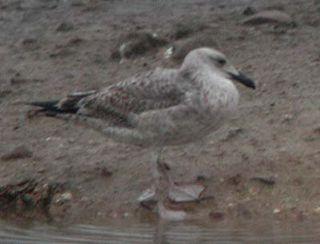 Caspian Gull, 1st-winter