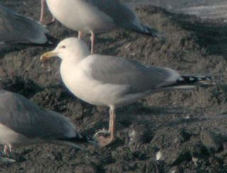 Caspian Gull, adult