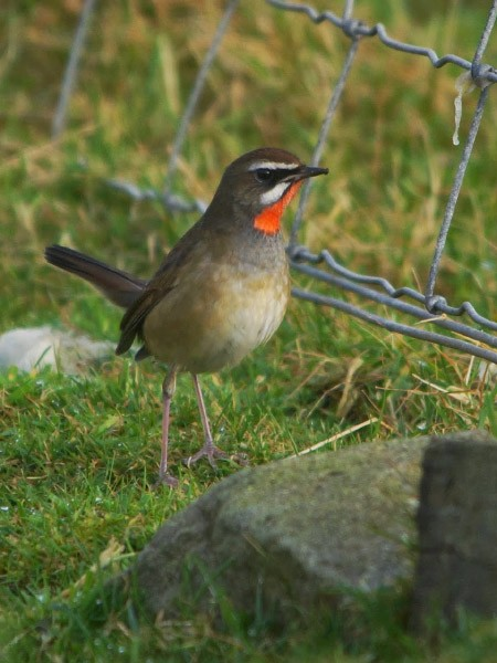 Rarity finders: It's really, really 'Not Fair' Isle! - BirdGuides