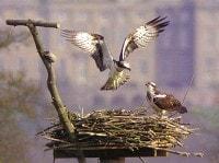 The Rutland Water Ospreys by Tim Mackrill