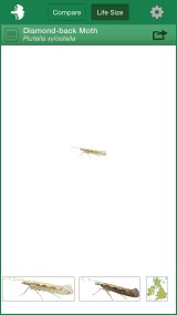 Diamond-back Moth, life size view