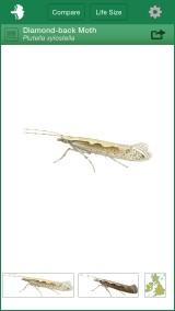 Diamond-back Moth, standard view