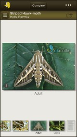 Striped Hawk-moth