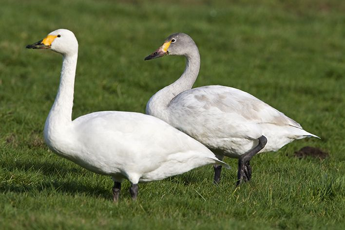 Adult (left) and juvenile (right) Bewick's Swans. Photo by Wil Leurs (www.agami.nl).