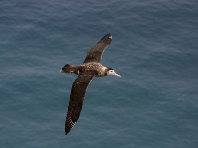Amsterdam Albatross could just be the most neotenous - or juvenile-like - form of north-south variation in Wandering Albatross, and not a species at all. Photo: Vincent Legendre (commons.wikimedia.org).