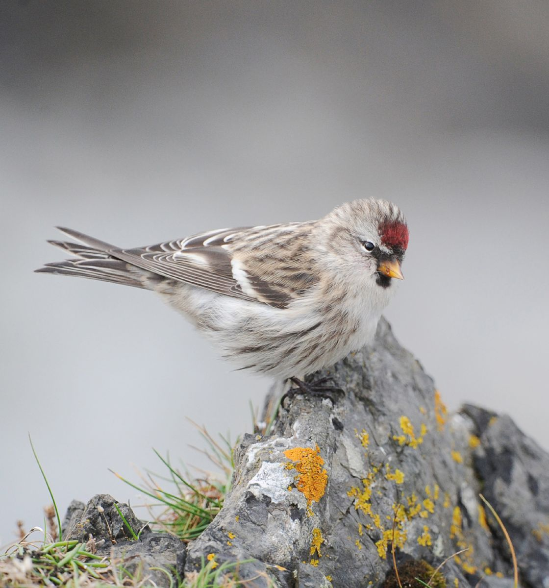 October Target Bird: Mealy Redpoll - BirdGuides