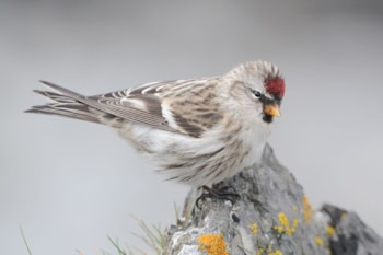 An annual scarce migrant, this Mealy Redpoll was photographed on Fair Isle in autumn 2010. Photo: Rebecca Nason.