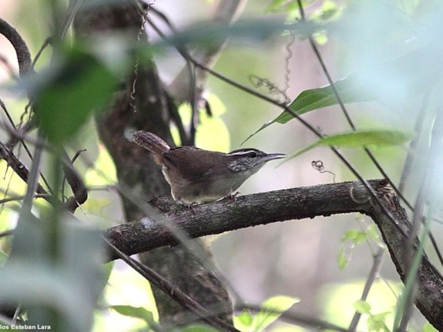 Antioquia Wren, a dry scrub specialist, is already classified as Vulnerable due to the planned damming of its valley habitat. Photo: Carlos Esteban Lara