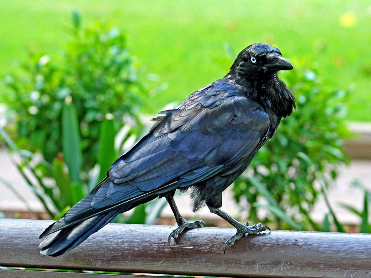 Australian Raven, like this bird in Sydney, may now be split into separate eastern and a western species, due to a pronounced genetic divergence. Photo: DickDaniels www.carolinabirds.org (commons.wikimedia.org).