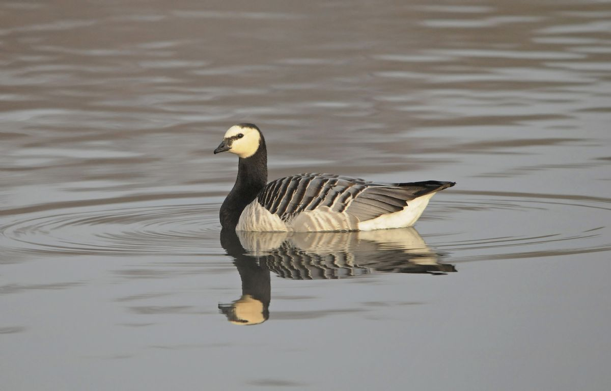 Barnacle Goose should still be present in numbers at favoured sites in February, but you may find birds wandering elsewhere in hard weather. Photo: Robert Cardell